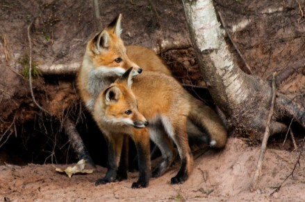 Photo of the Year (Nature) Fox Kit Bayfield M. Jeske