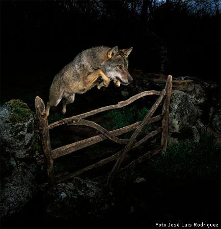 Springende wolf winnend beeld Wildlife Photographer
