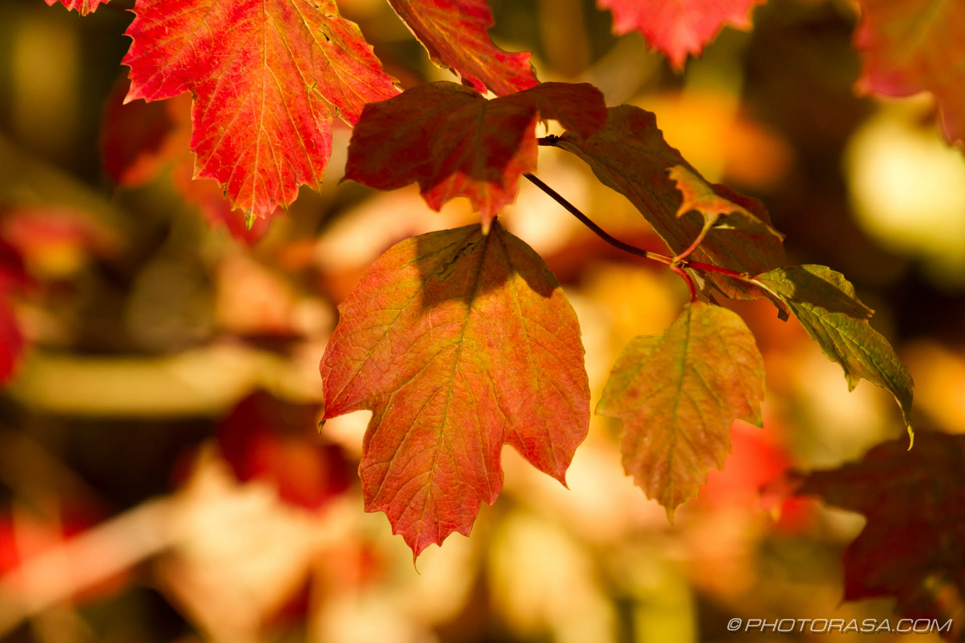 red and brown sycamore leaves  Photorasa Free HD Photos