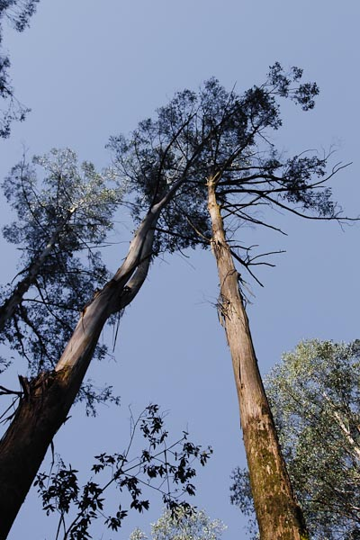 Very tall trees!! Probably 60 meters...