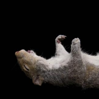 Kimberly Witham, Transcendence (Sleeping Squirrel) Digital chromogenic print, 10x10