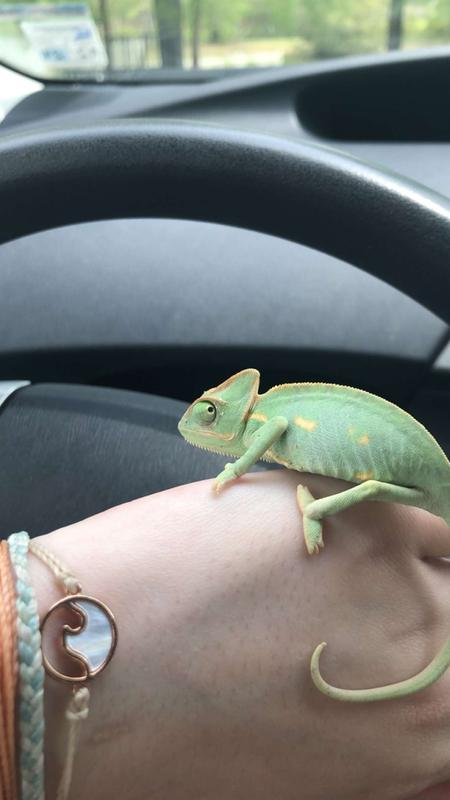 A Guide to Caring for Pet Chameleons - The Spruce Pets