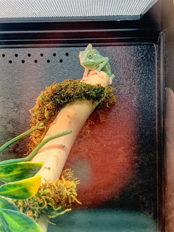 Petsmart Chameleon Cage : petsmart, chameleon, Veiled, Chameleon, Reptiles, PetSmart