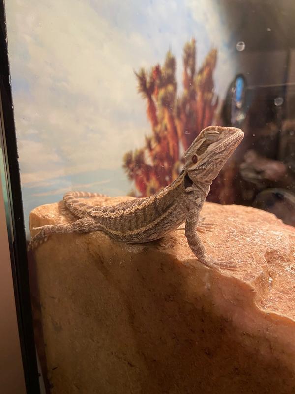 How Much Do Lizards Cost At Petsmart : lizards, petsmart, Fancy, Bearded, Dragon, Reptiles, PetSmart