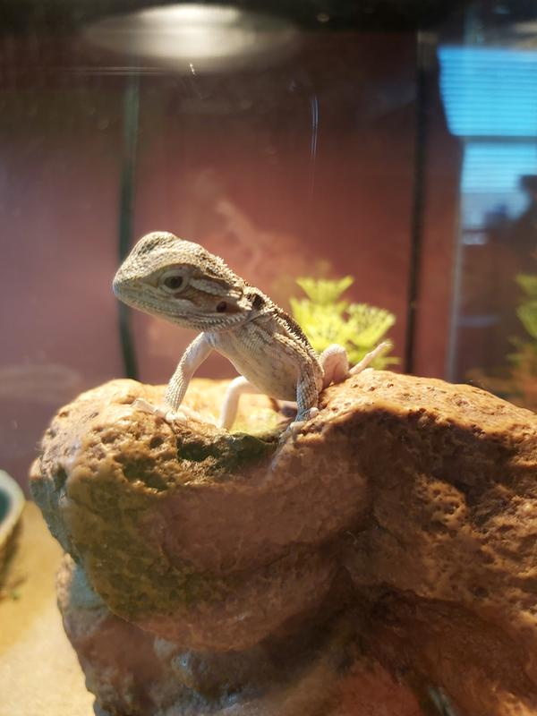 How Much Do Lizards Cost At Petsmart : lizards, petsmart, Bearded, Dragon, Reptiles, PetSmart