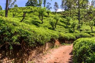 Bilderbuch Teeplantage