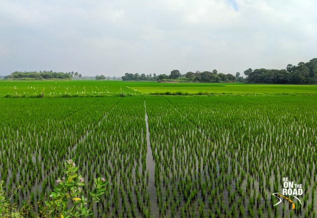 The rich paddyfields in the Thamarabharani delta of India's deep South