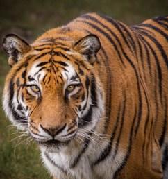 tiger diagram labled [ 2206 x 2040 Pixel ]