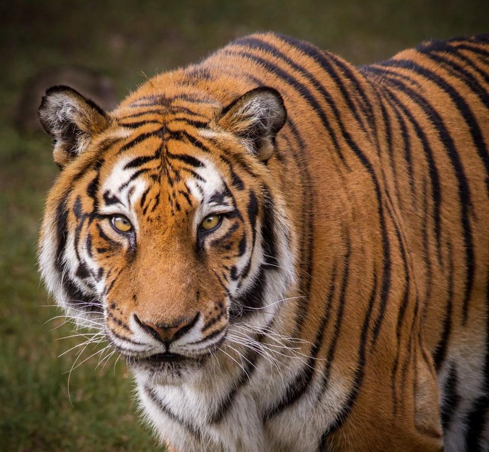 medium resolution of tiger diagram labled