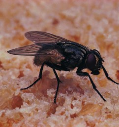 fly larvae body diagram [ 1950 x 1298 Pixel ]