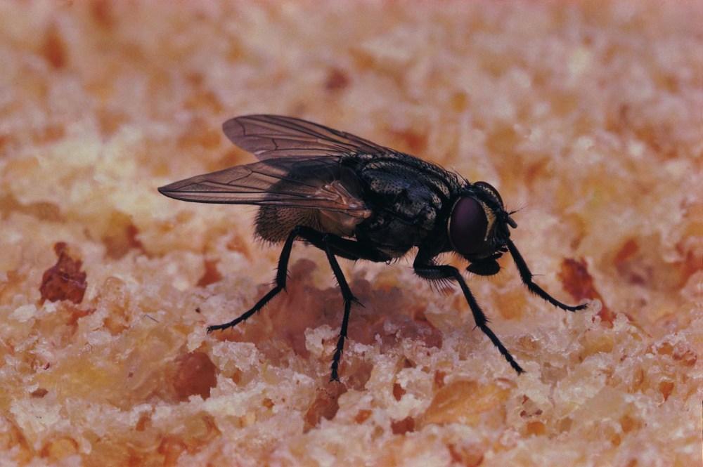 medium resolution of fly larvae body diagram