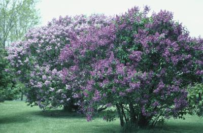 Training Lilacs Into Trees  Home Guides  SF Gate