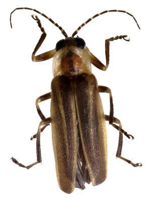 The Life Cycle Of Fireflies Animals Mom Com