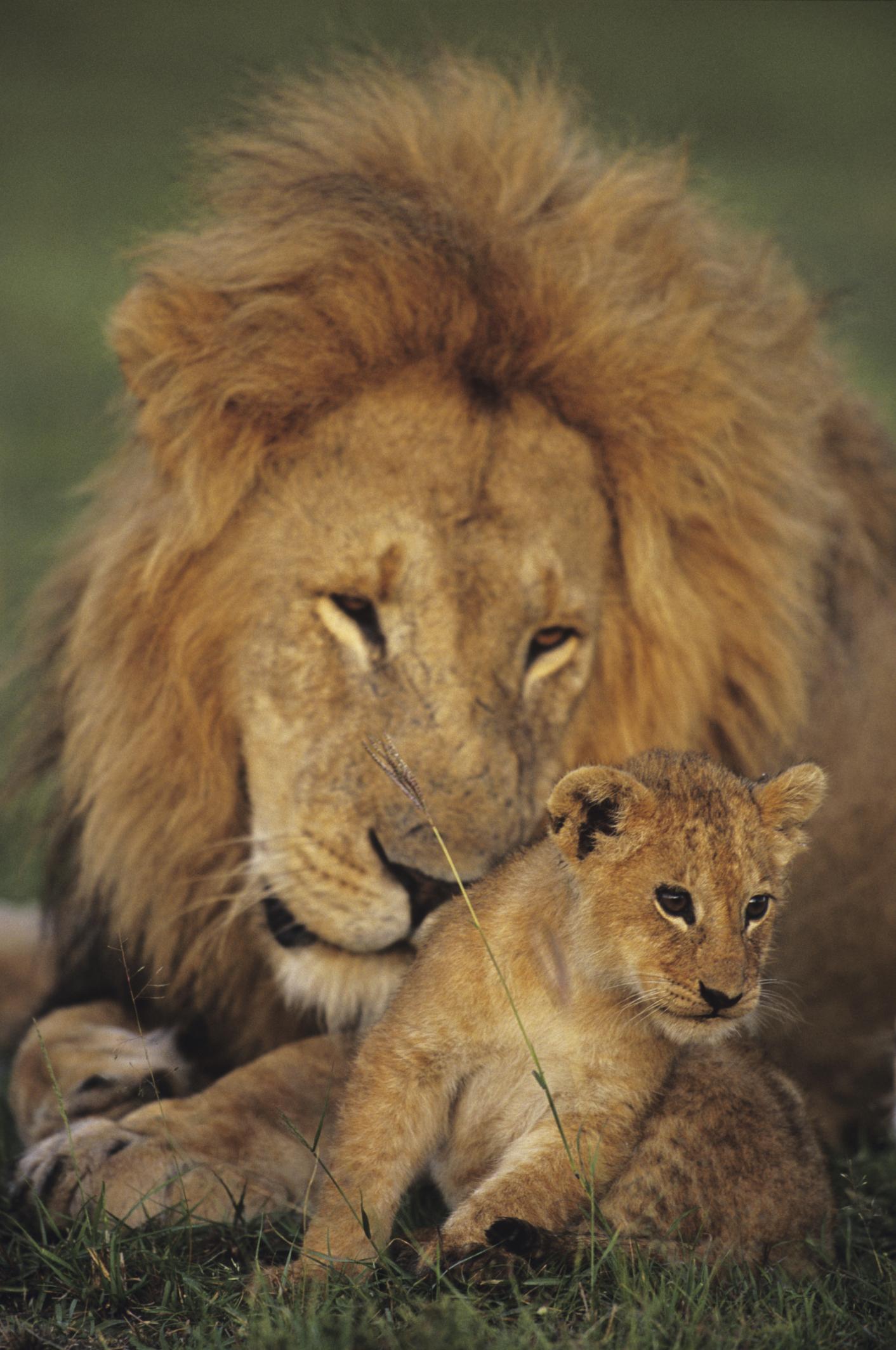 Newborn Baby Lion : newborn, Information, Lions
