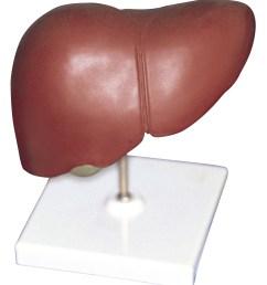 liver lobe diagram labeled [ 2124 x 2400 Pixel ]