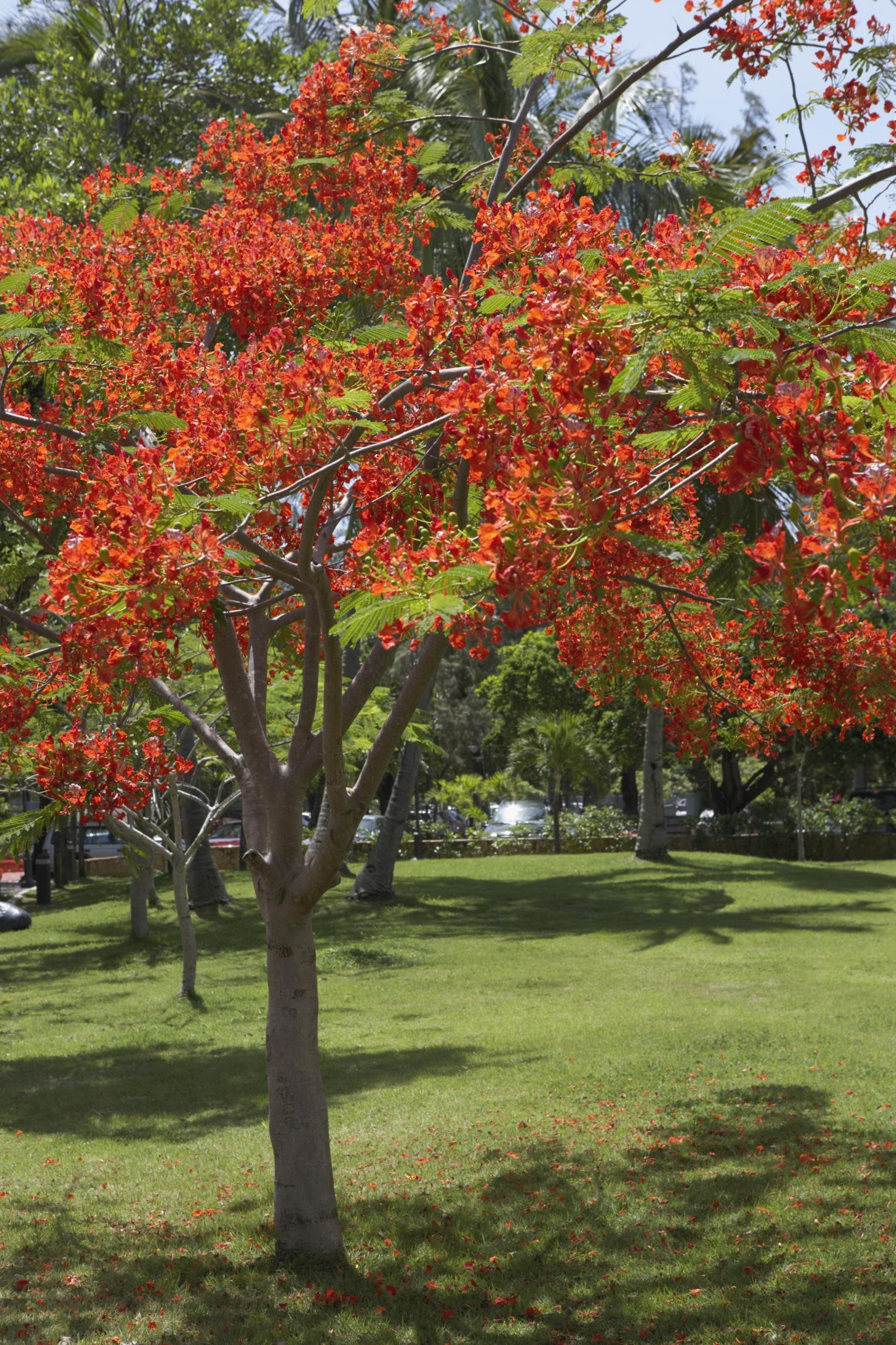 Royal Poinciana Bonsai : royal, poinciana, bonsai, Planting, Instructions, Royal, Poinciana