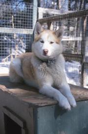 give siberian husky
