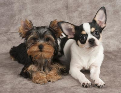 Teacup Yorkies Vs Teacup Chihuahua Dog Care Daily Puppy
