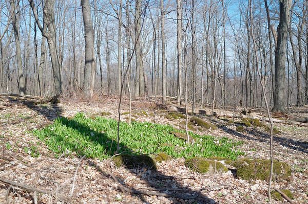 First green patch of daffodils along the trail.