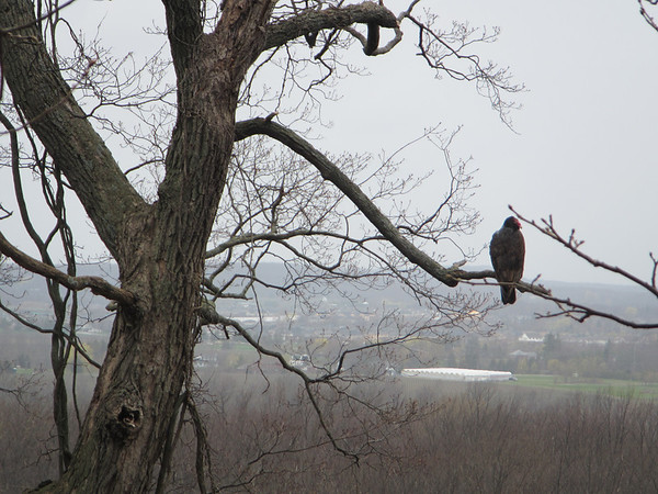 Turkey vultures along the escarpment.  They stopped flying as soon as it rained.