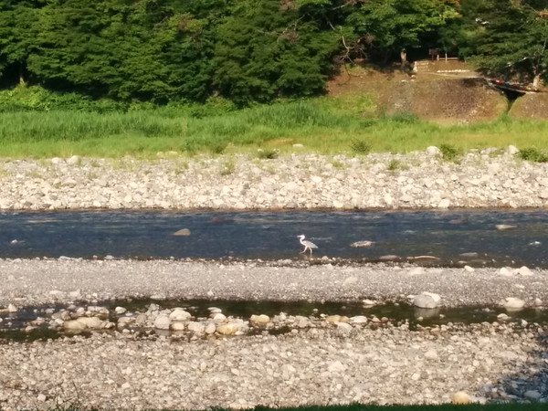 Observing what I think is a Blue Heron while having breakfast at the Minshuku Chikatsuyu.