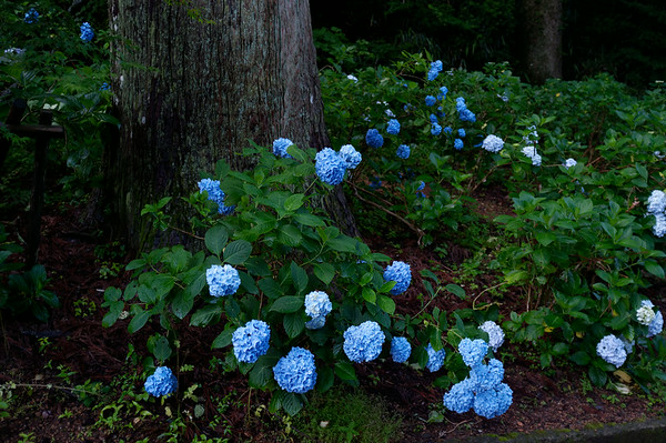 I have never seen such blue flowers in my life.  They seemed to be everywhere in Japan.