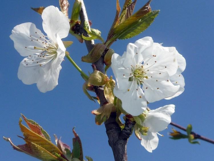 Fleurs blanches de cerisier au printemps