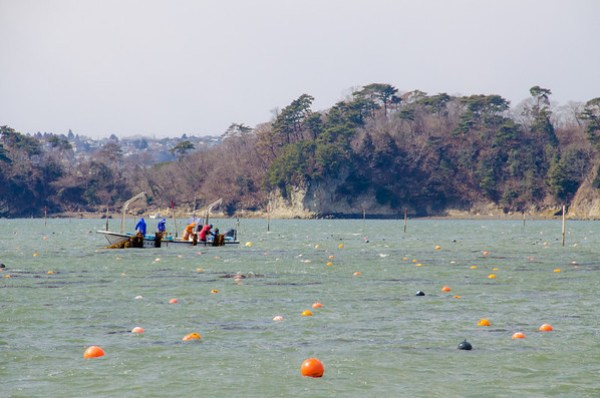 Oyster harvesting in Matsushima Bay, Japan
