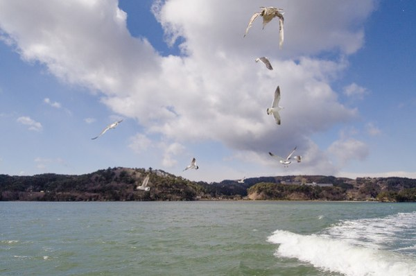 Seagulls following the Matsushima Bay Cruise
