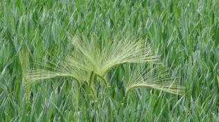 Un trio insolite au coeur du champ de blé...