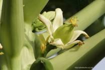 la fleur de papayer