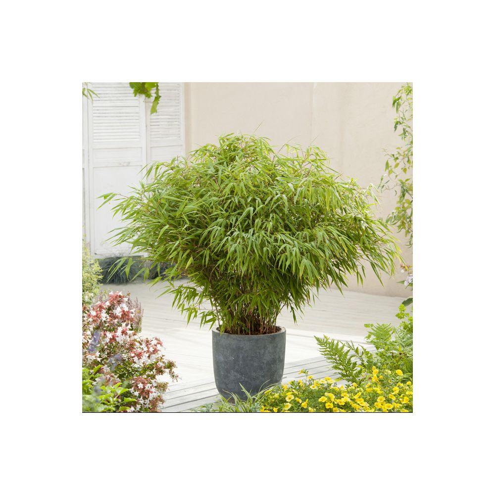 bambou non tracant fargesia rufa