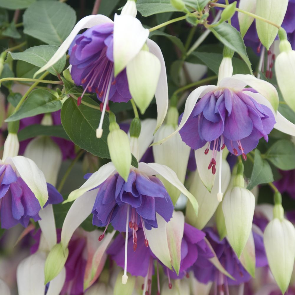 Fuchsia vivace Blue Sarah En lot de 3 godets de 7 cm