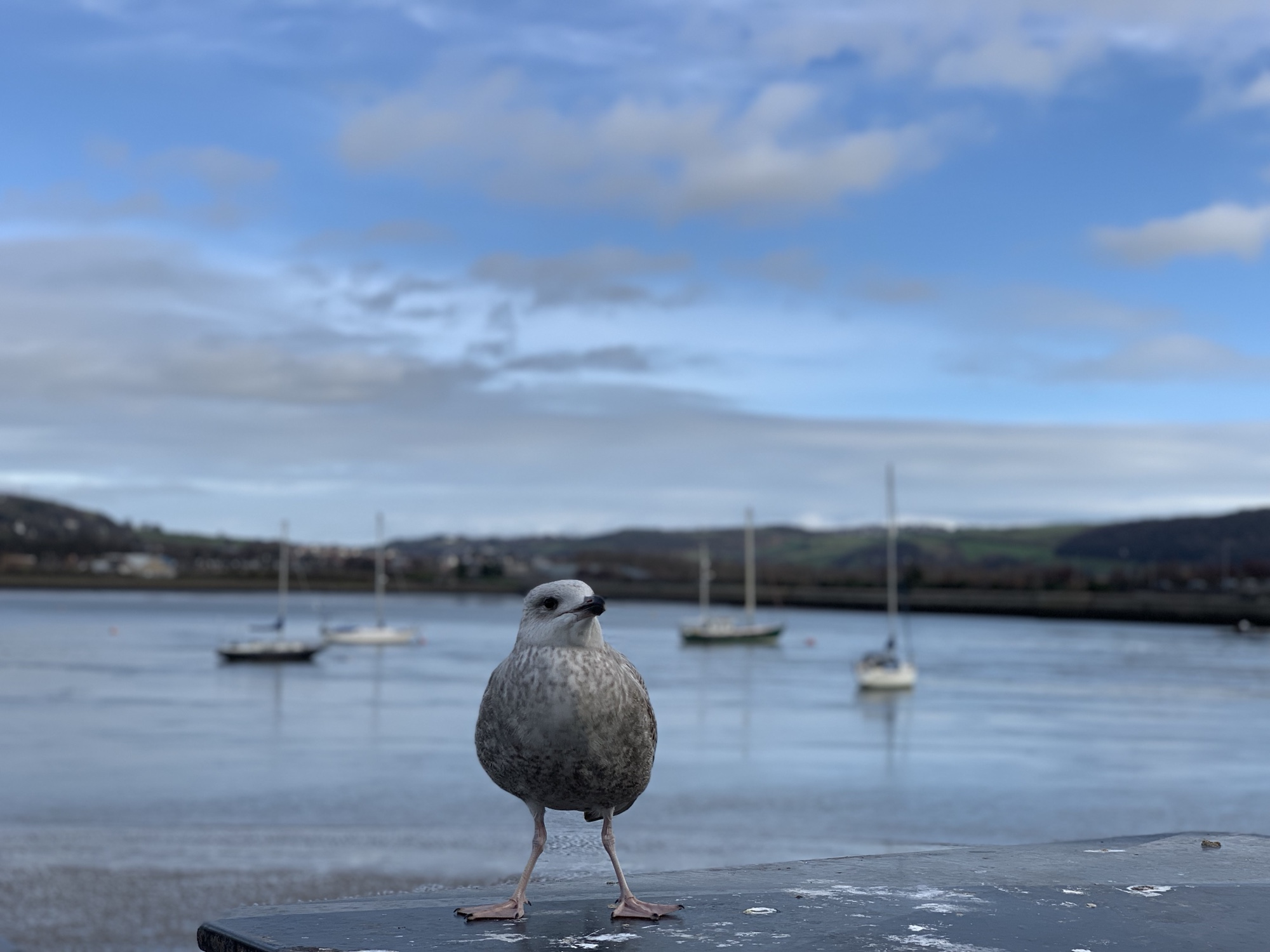 Seagull at Conwy Quay