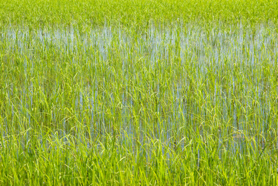 Rice growing in flooded field, Piemonte