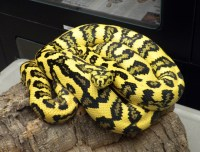 Jungle Jaguar Carpet Python - Carpet Vidalondon