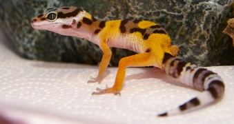 Hatchling Leopard Gecko Named Fancy