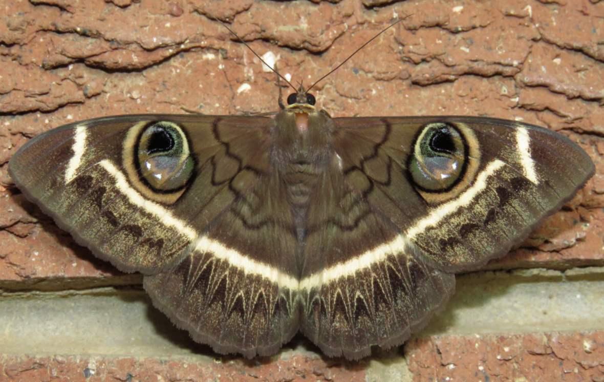 Cream-striped owl moth