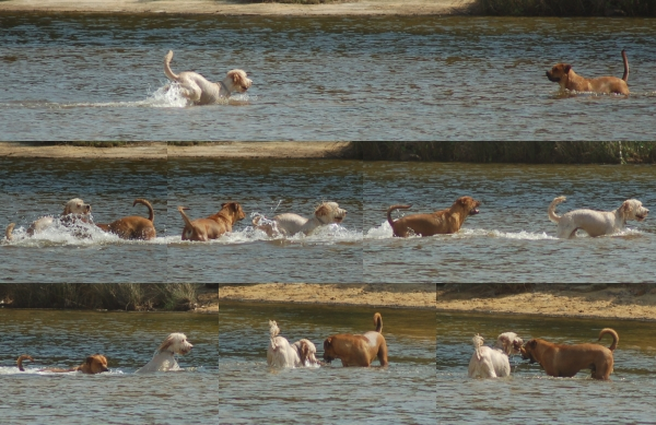 Happy as dogs in water