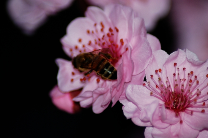 Bee on a blossom
