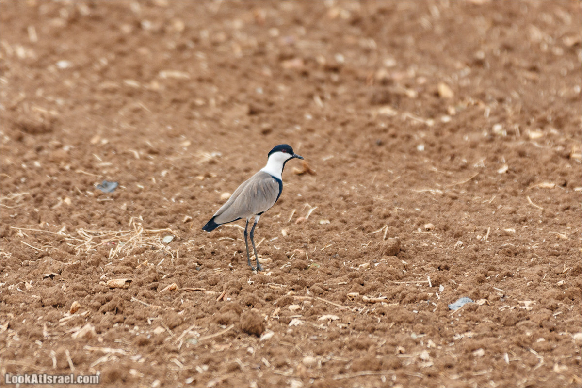 Миграции птиц в долине Хула | LookAtIsrael.com - Фото путешествия по Израилю