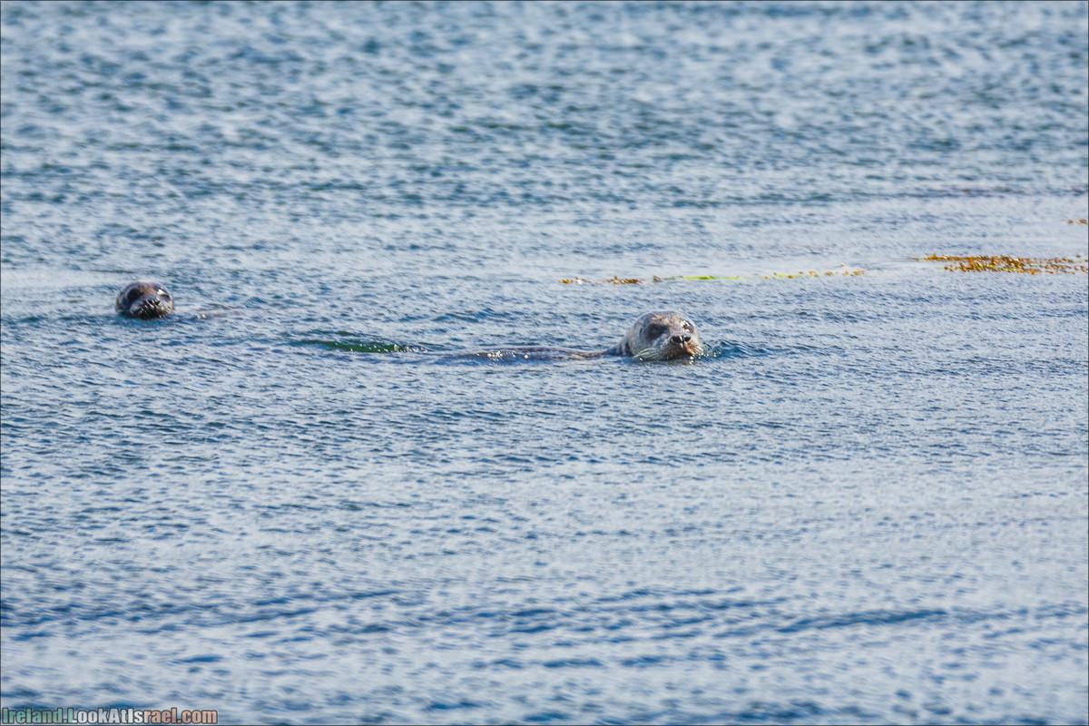 Seafari с тюленями в заливе Кенмар   The Ring of Beara, Uragh Stone Circle, Gleninchaquin Park & Waterfall   LookAtIsrael.com путешествует по Ирландии