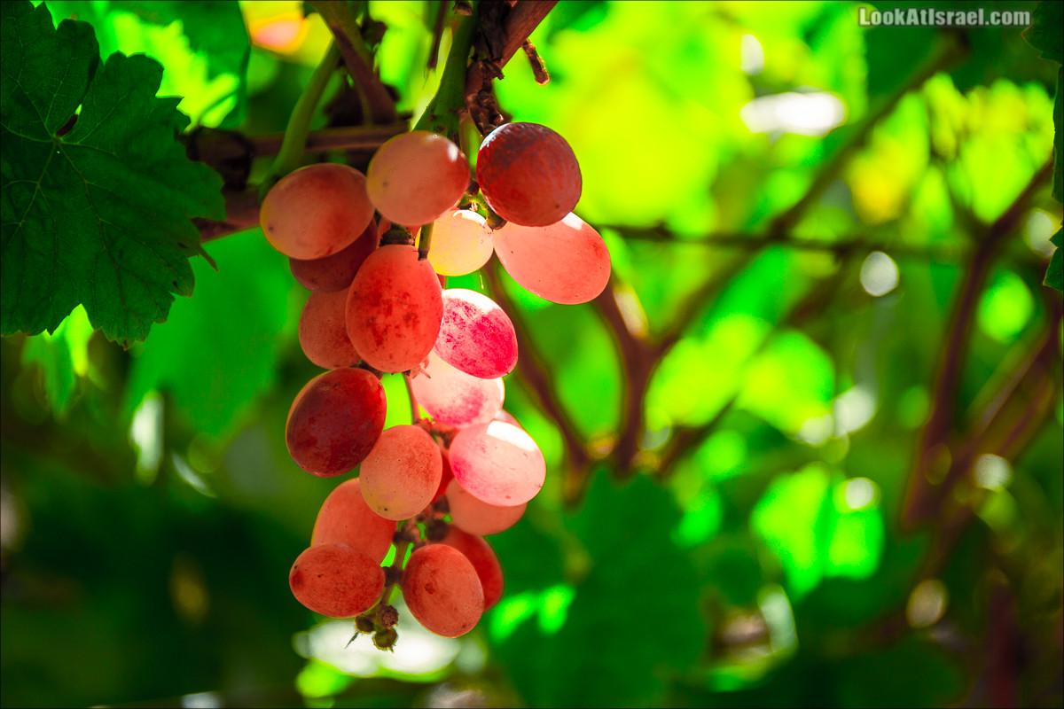 Самостоятельный сбор винограда в поселке Лахиш | LookAtIsrael.com - Фото путешествия по Израилю