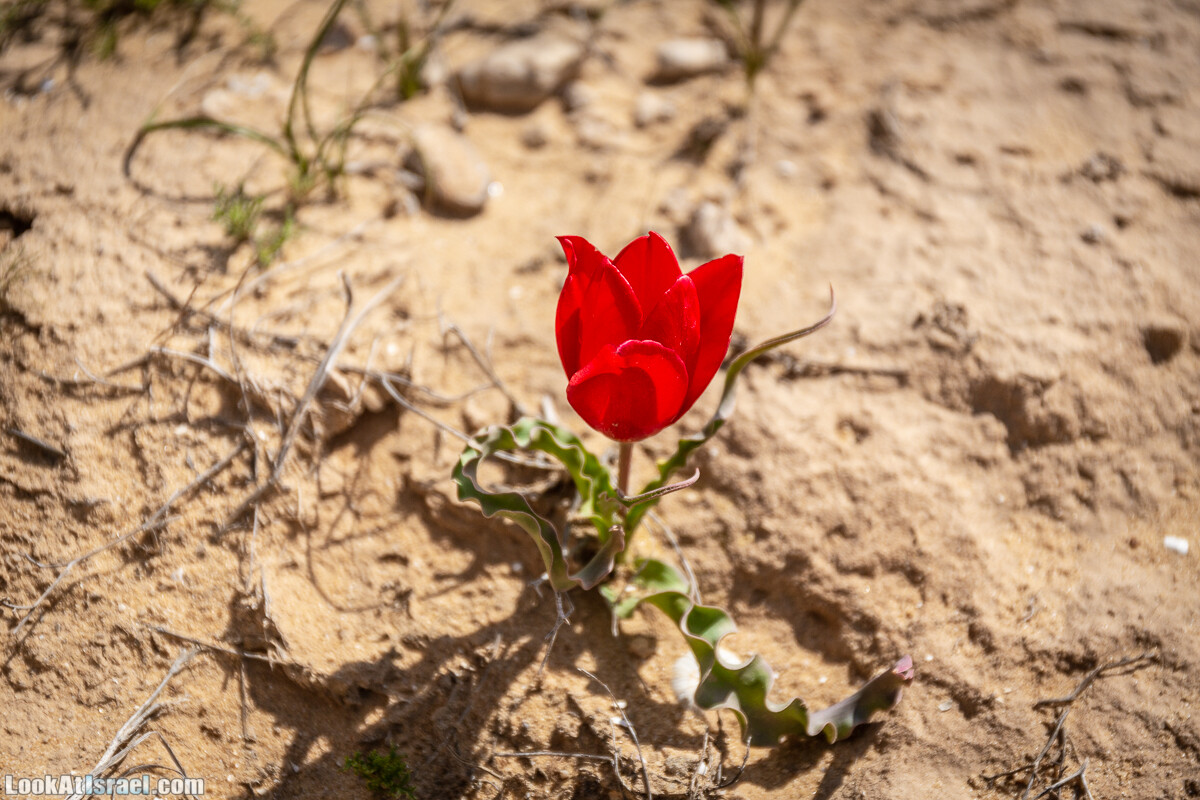 Ирис Йерухам | Yeruham Iris | אירוס ירוחם פטרה פטרנה | LookAtIsrael.com - Фото путешествия по Израилю