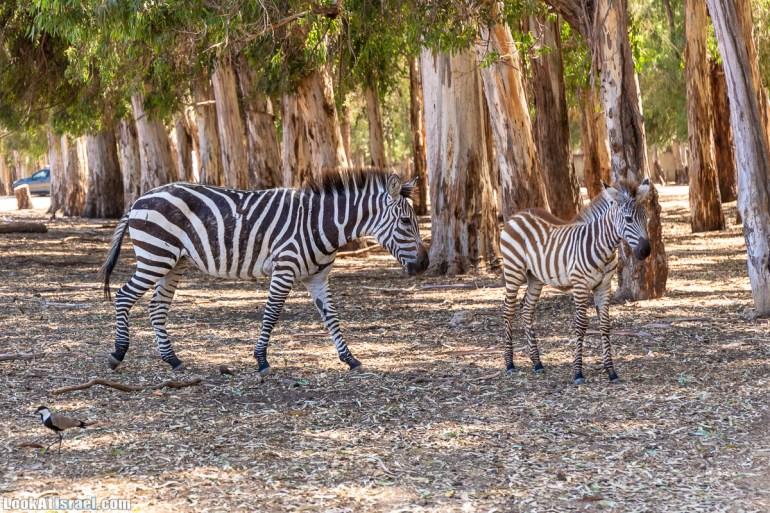 Сафари в Рамат Гане | Ramat Gan Safari | ספארי ברמת גן | LookAtIsrael.com - Фото путешествия по Израилю