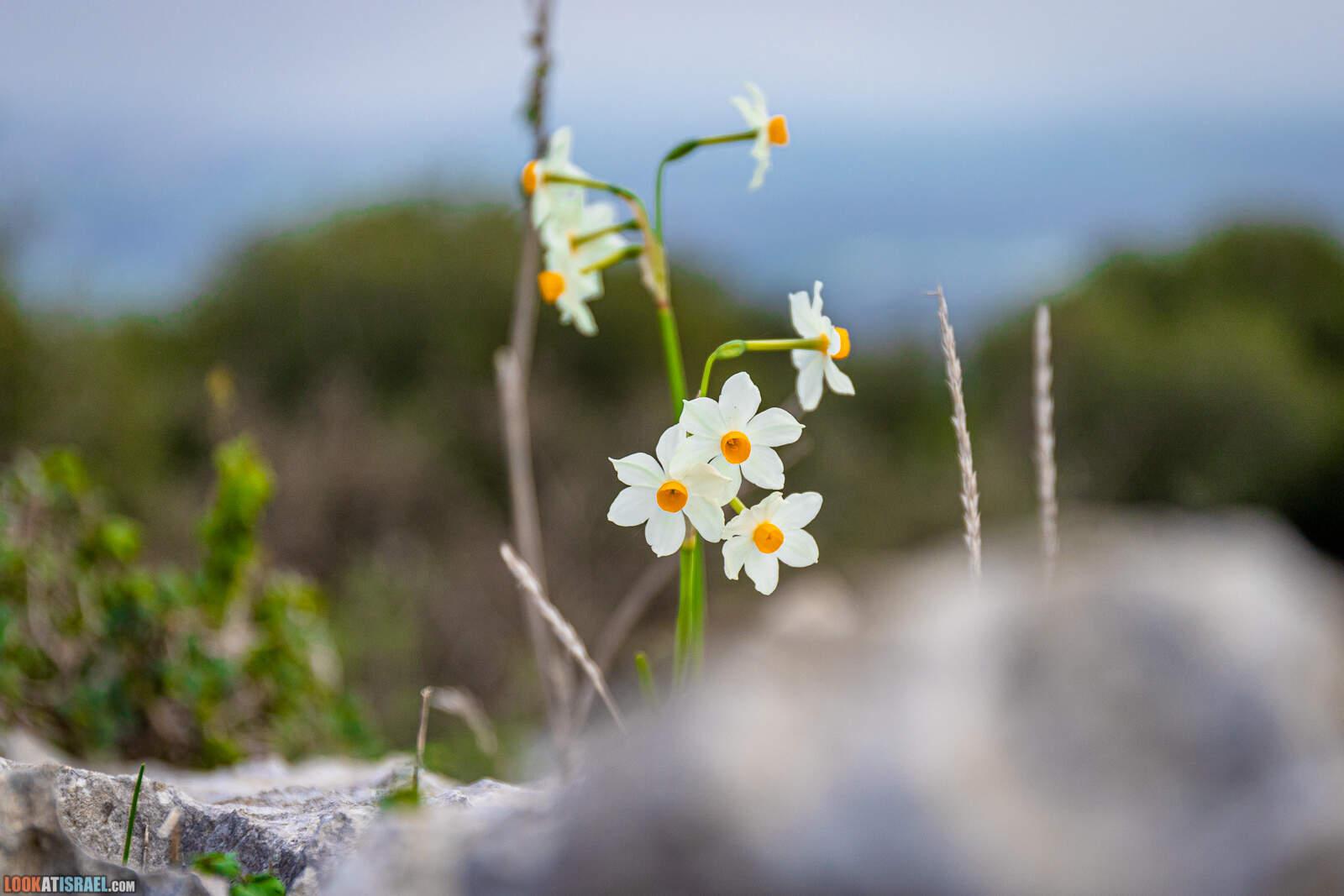 Нарцисс - Daffodi - נרקיס