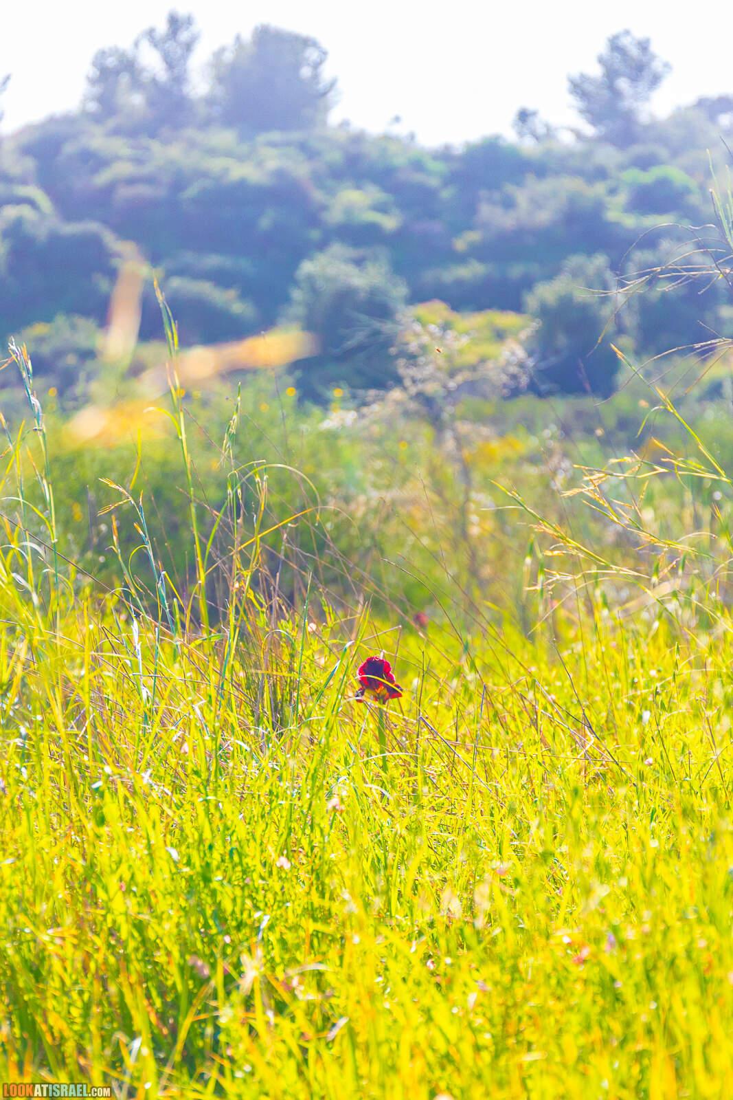 Цветение ирис аргаман в Нес Циона. В том числе и ирис альбинос (желтый ирис)