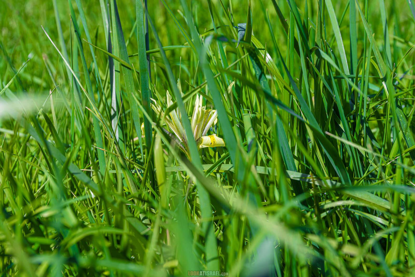 Ирис болотный на Голанских высотах (Iris grant-duffii) | LookAtIsrael.com - Фото путешествия по Израилю