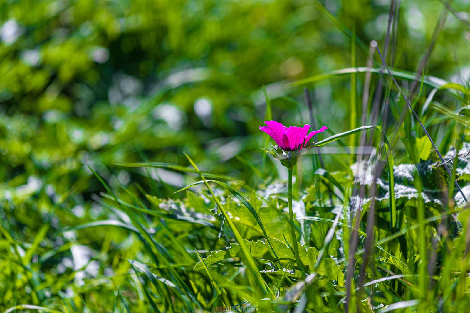 Ирис болотный на Голанских высотах (Iris grant-duffii)