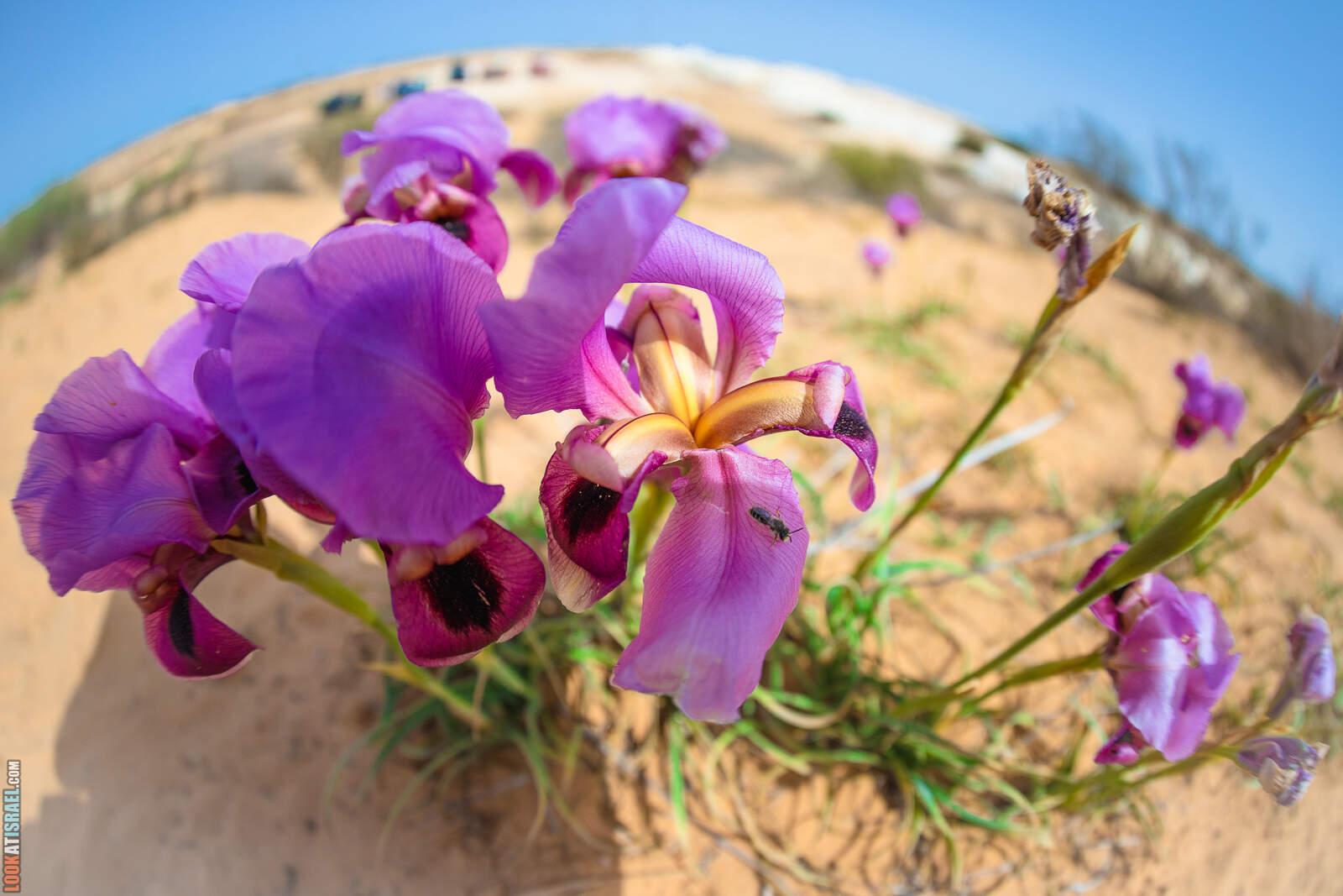 Ирис негевский | Iris mariae | אִירִיס הַנֶּגֶב | LookAtIsrael.com - Фото путешествия по Израилю